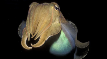 A-Cephalopod-Has-Passed-a-Cognitive-Test-Designed-For-Human-Children